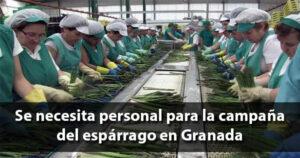 Empleo para la campaña del espárrago verde en Granada