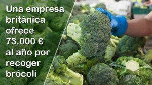 Una empresa ofrece 73.000 € al año por recoger brócoli